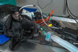 Le monitoring de l'anesthésie _ beaucoup de _tuyaux_ pour vérifier que tout se passe bien